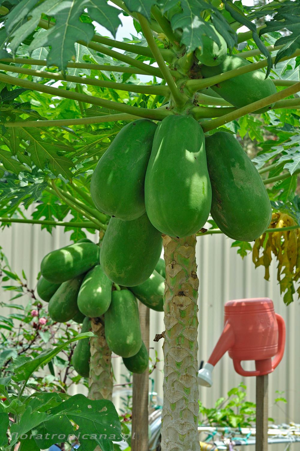 Owocująca papaja