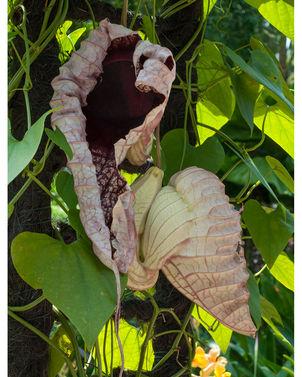 aristlochia gigantea1.jpg