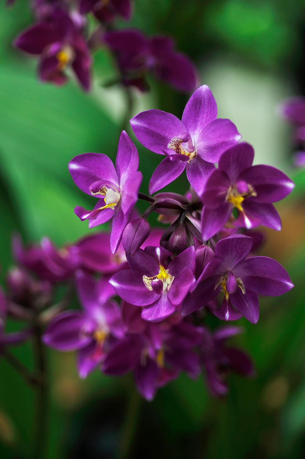 Gardens by the Bay, Orchid Extravaganza 2016, Spathoglottis orchid