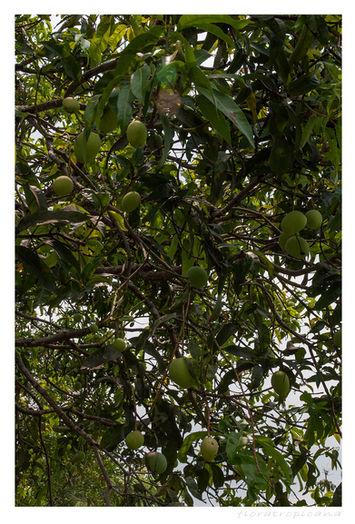 Mangifera indica, MANGO INDYJSKIE, mango