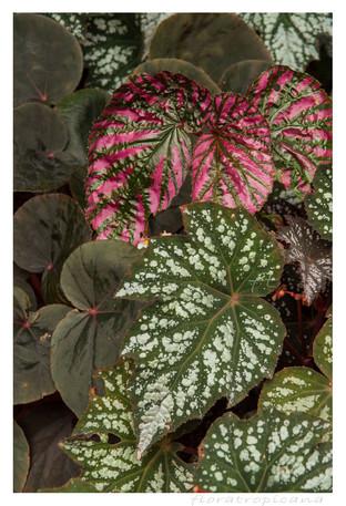 Begonia, królowa cienistego parapetu