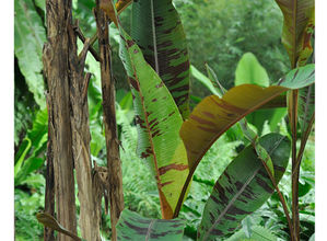 Musa acuminata var sumatrana 3.jpg