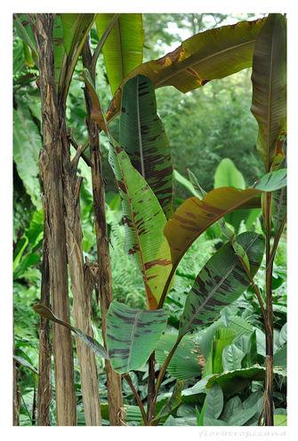 BANAN KARŁOWATY, Musa acuminata, banan