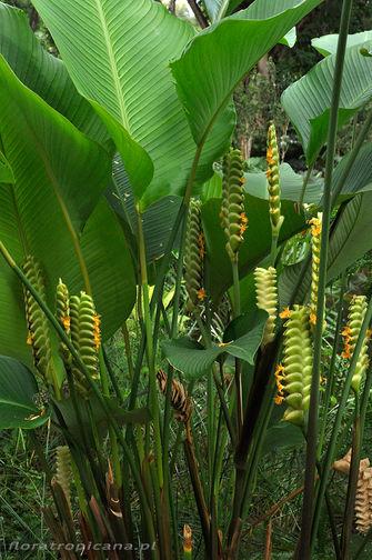Calathea crotalifera, kalatea