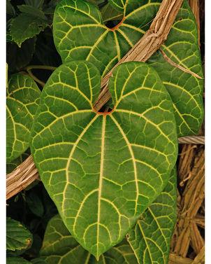 Aristolochia leuconeura 5.jpg