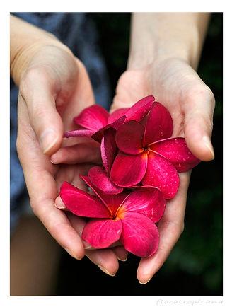 Plumeria, Frangipani, Kwiat Lei