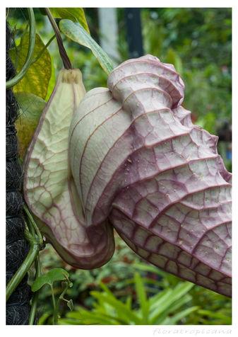 Kokornak wielkokwiatowy, Aristolochia grandiflora, kokornak