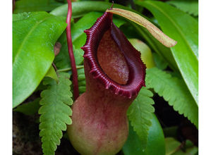 Nepenthes2.jpg