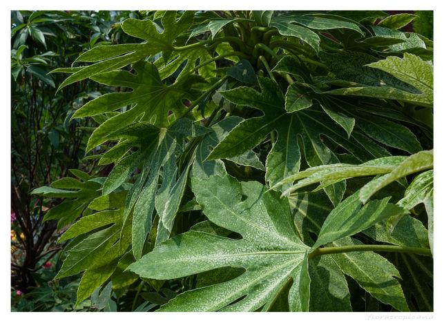 Fatsia japonica FATSJA JAPOŃSKA