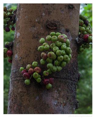 Ficus variegata2.jpg