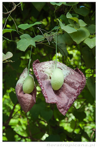 Aristolochia gigantea, kokornakolbrzymi