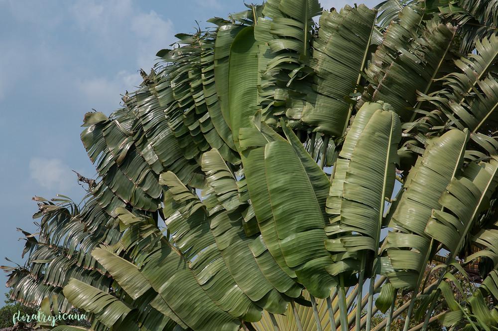 Pielgrzan madagaskarski, drzewo podróżników