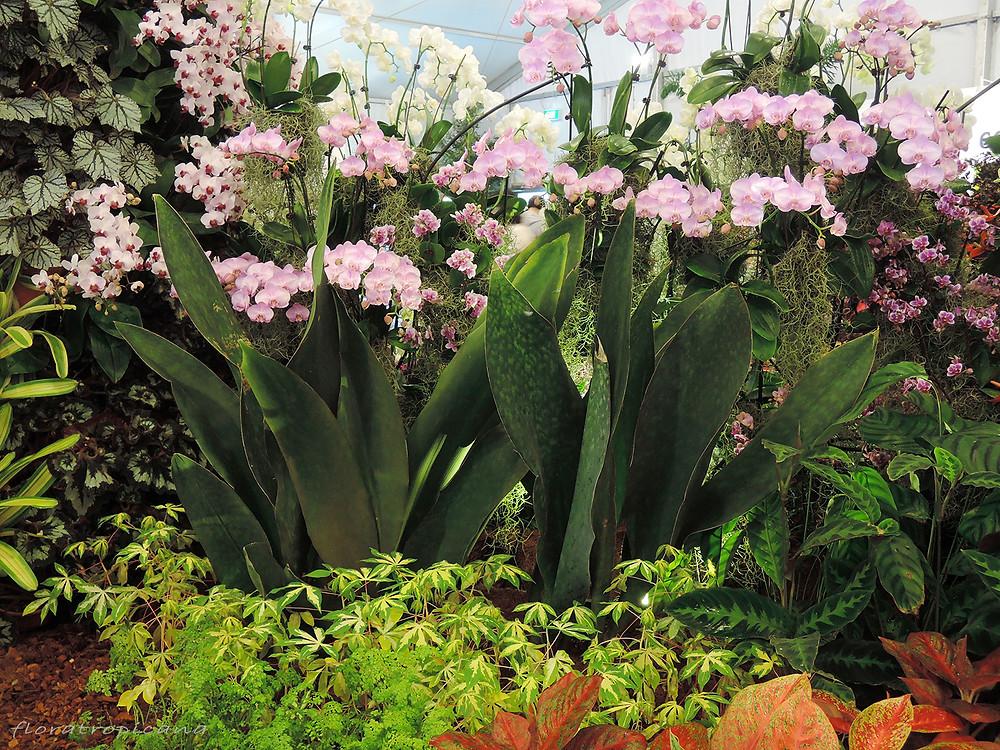 Phalaenopsis, Singapore Garden Festival