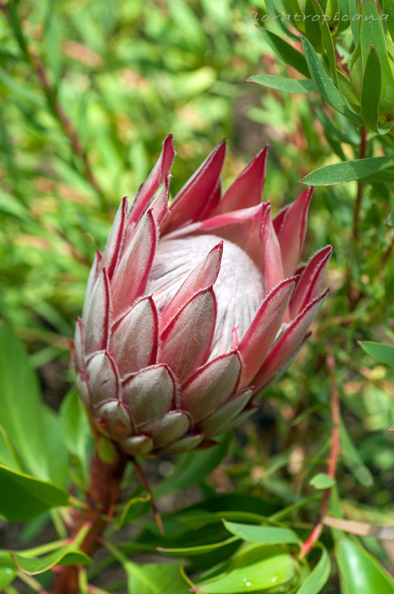 Protea królewska (Protea cynaroides)
