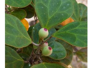 Ficus deltoidea.jpg