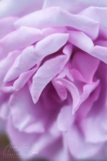 Velvet Petals
