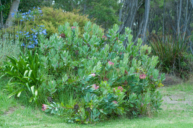 Protea królewska, Protea, srebrnik