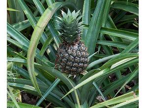 Ananas5.jpg