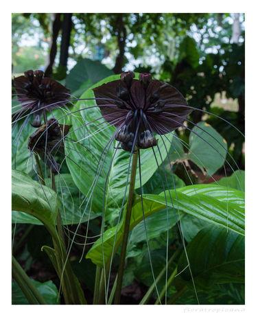 Tacca flower, kwiat nietoperz