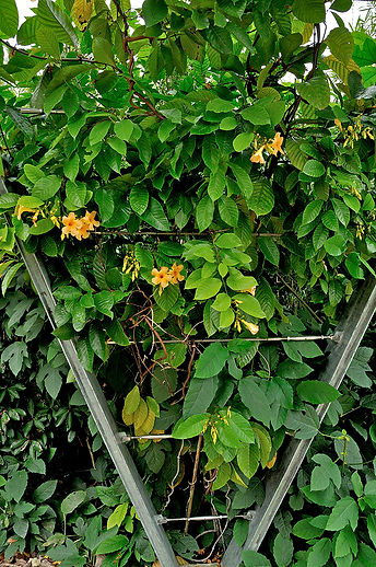 Odontadenia macrantha, tropikalne pnącze.