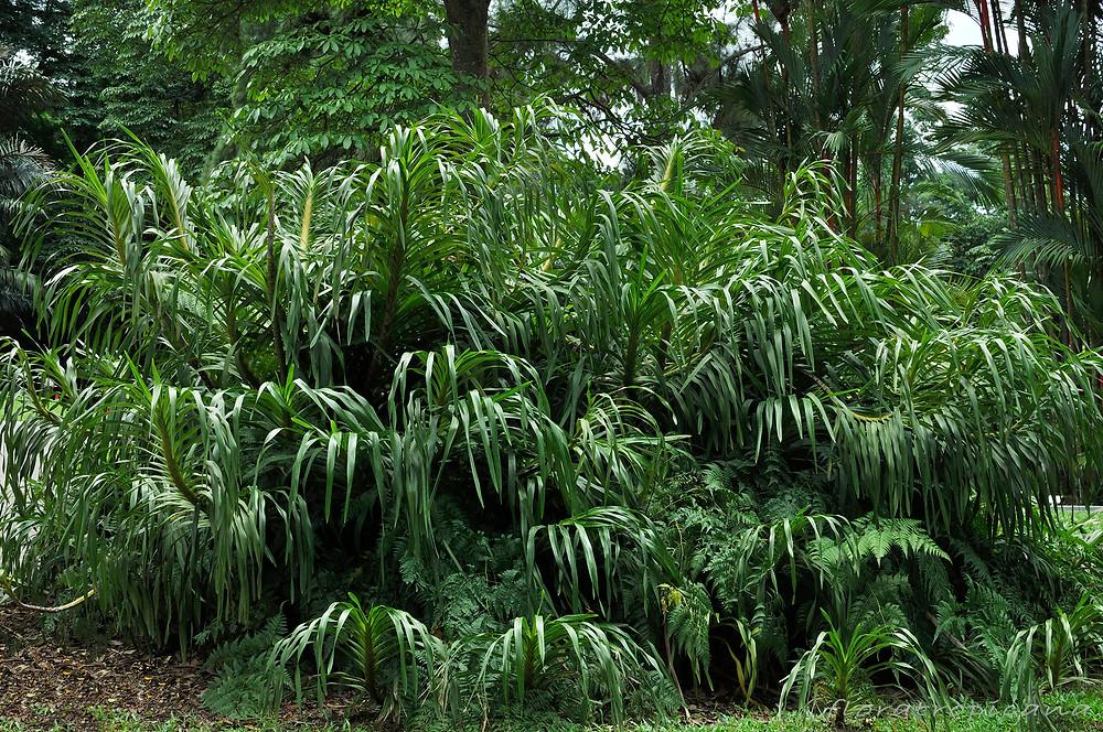 Grammatophyllum speciosum, orchidea tygrysia