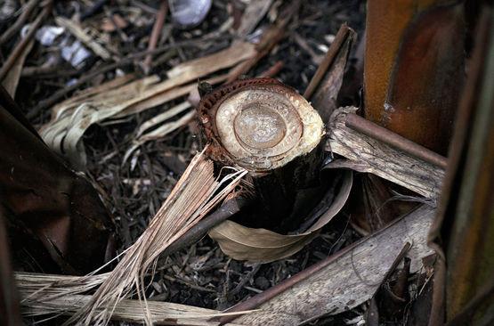 Przekrój poprzeczny przez pseudo łodygęhelikonii.