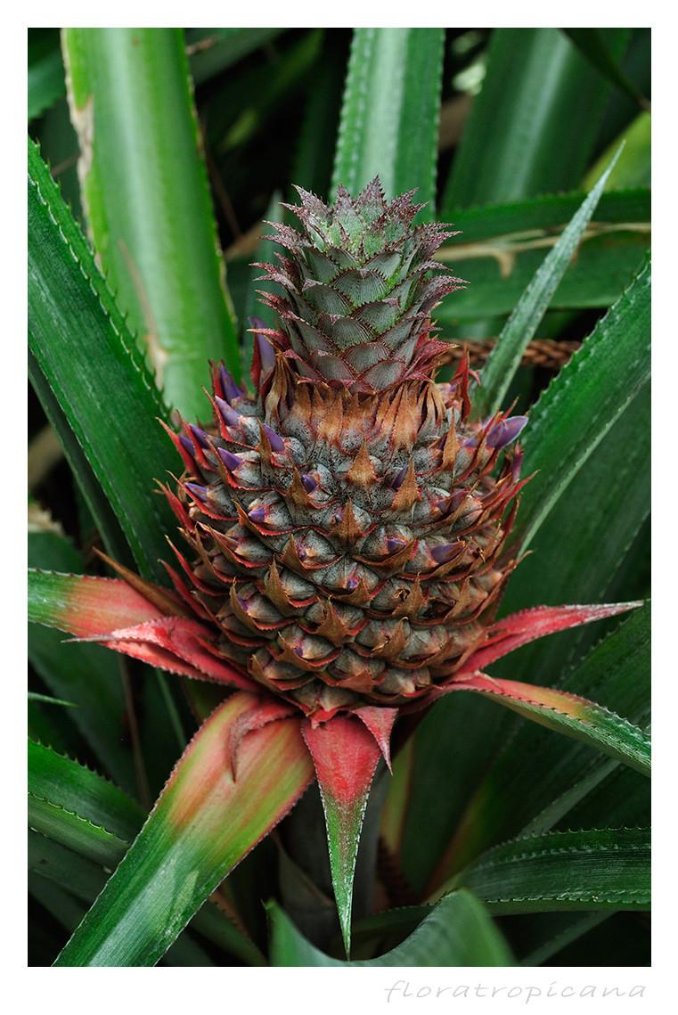 Ananas ozdobny, kwiatostan
