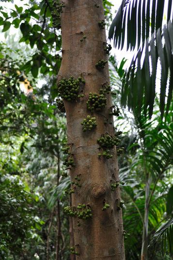 Ficus variegata, figowiec, fikus