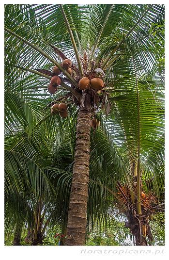 Cocos nucifera, KOKOS WŁAŚCIWY