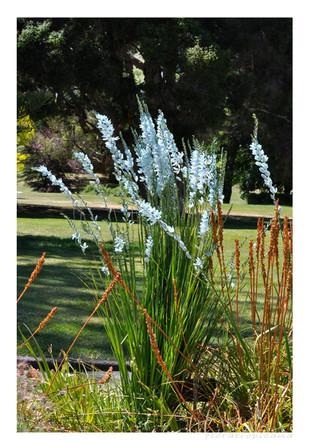 Ixia viridiflora, czyli niecodzienny kolor na bylinowej rabacie.