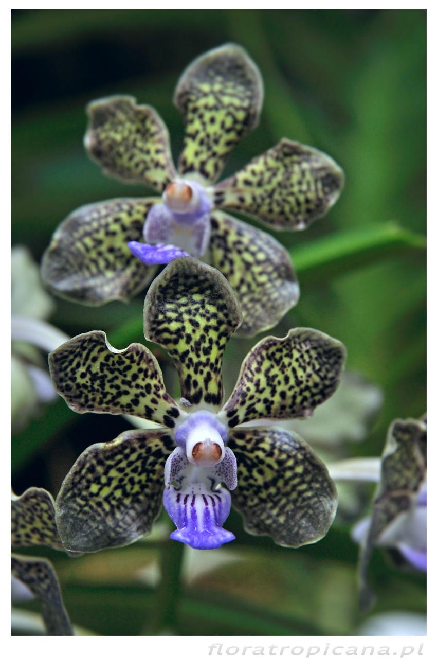 Papilionada Mimi Palmer