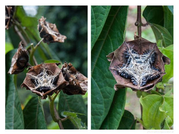abroma augusta, krzew abromy, owoce abromy, nasiona