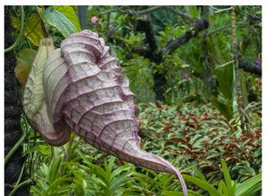 aristlochia gigantea5.jpg