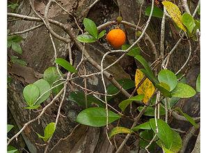 Ficus punctata3.jpg