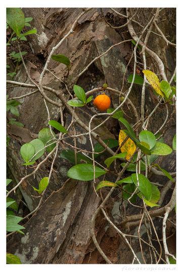 Ficus punctata, fikus , figowiec