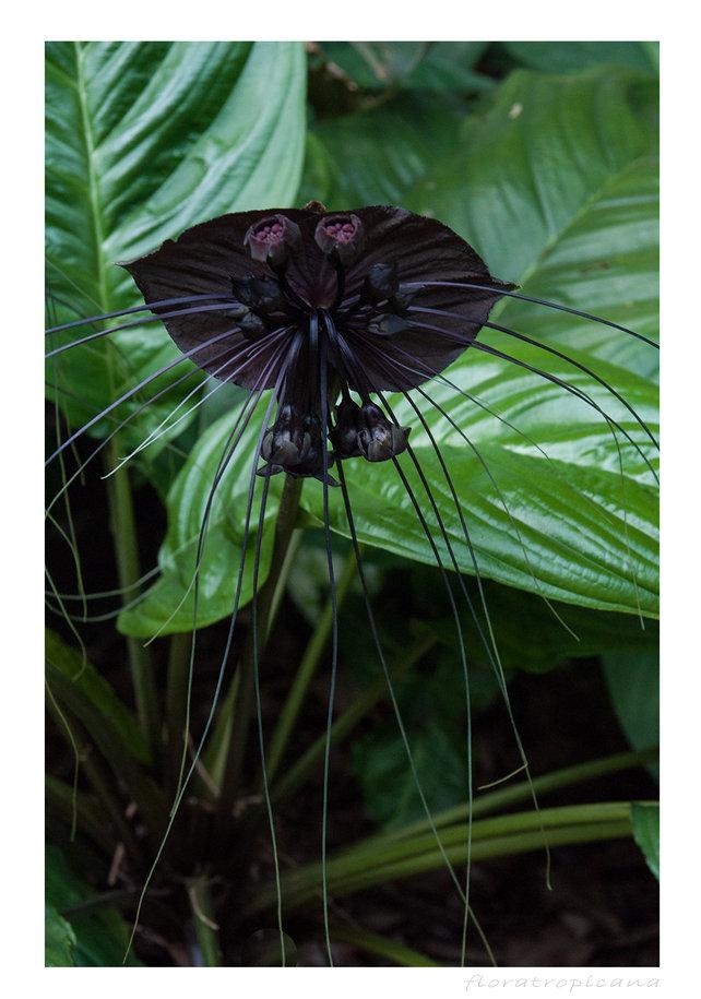 Tacca flower, bat's flower