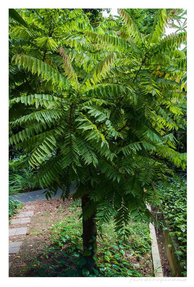 Averrhoa bilimbi, tropikalne owoce