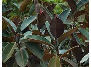 Ficus-elastica.jpg