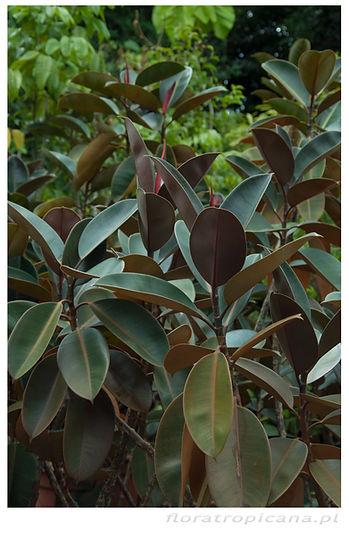 Ficus elastica, figowiec sprężysty