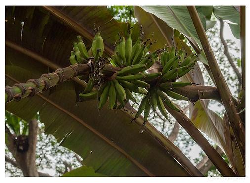 BANAN KARŁOWATY, Musa acuminata, banany