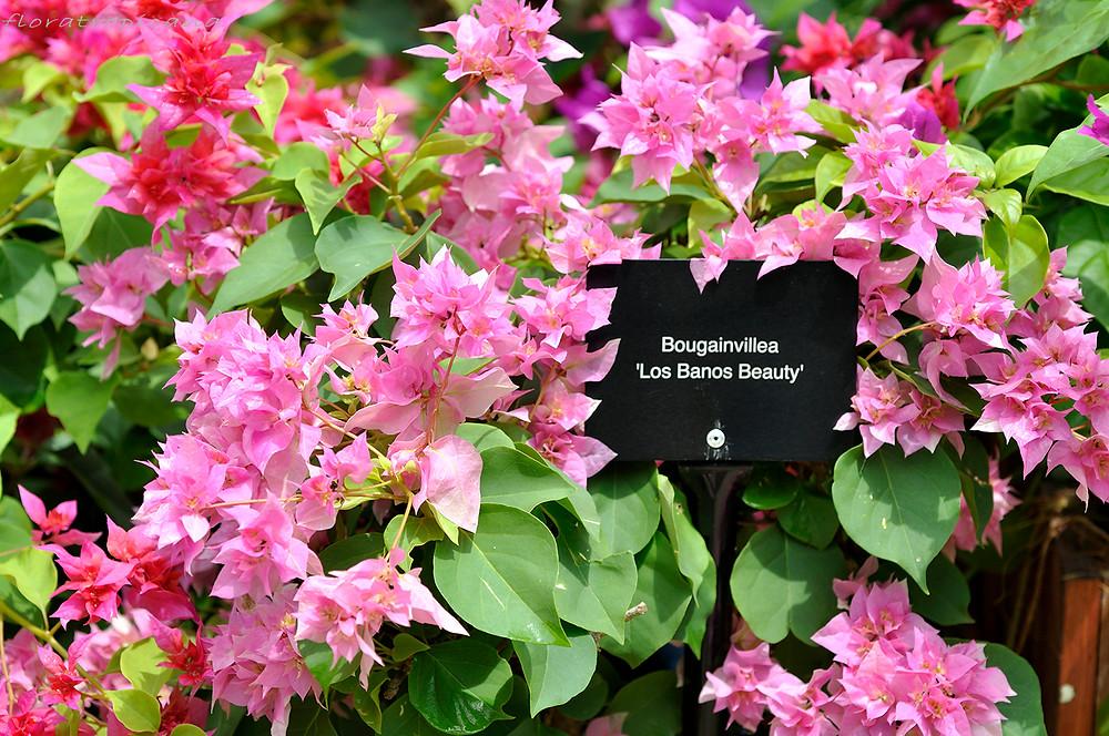 Bougainvillea exhibition, Singapore Garden Festival