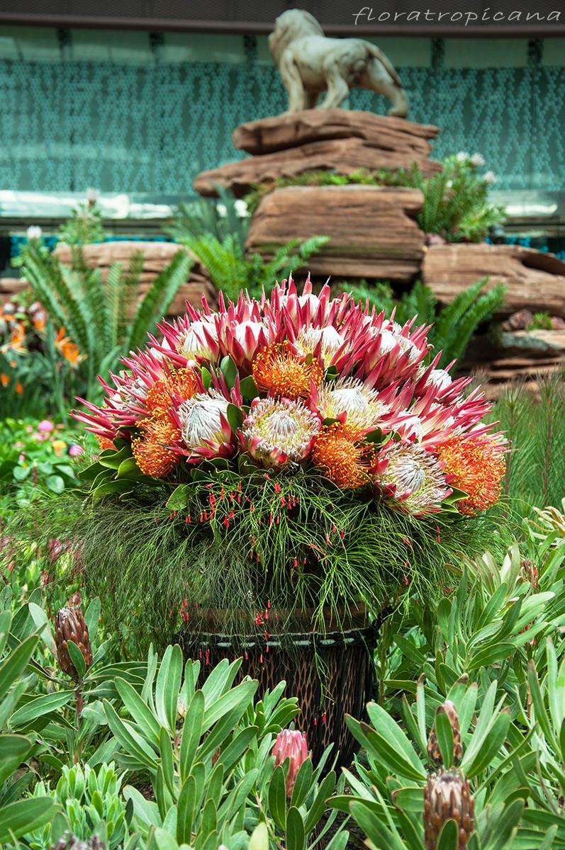 Protea królewska, Protea cynaroides