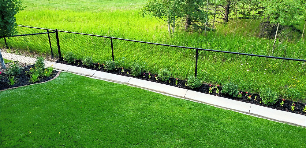 Newly planted alpine currant hedge