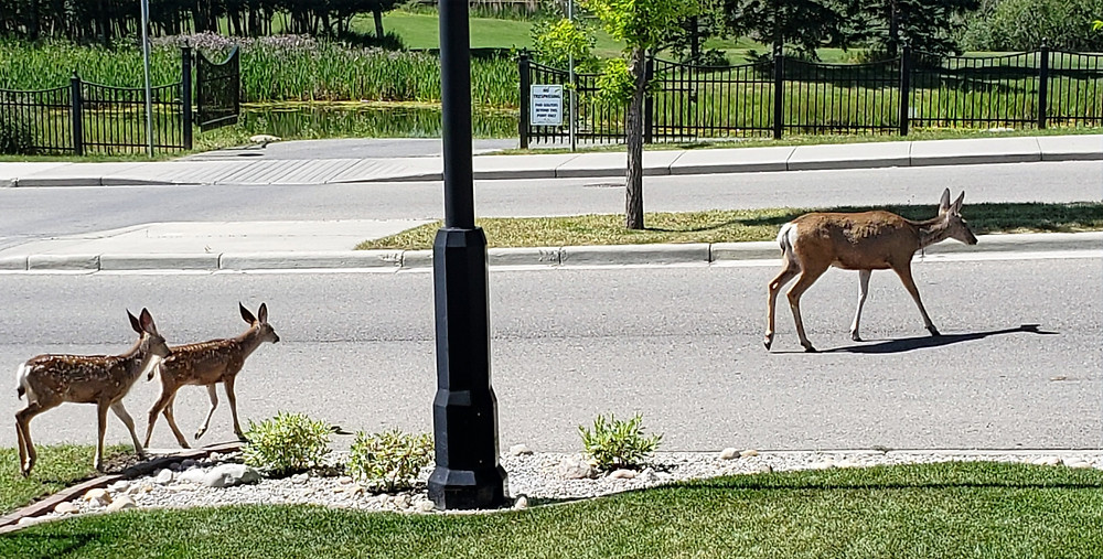 Mama deer and her twins crossing the road