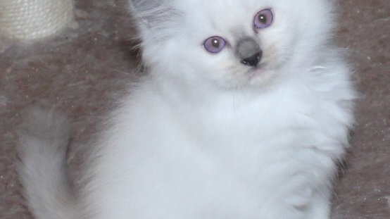 Female Blue Mitted Ragdoll Kitten