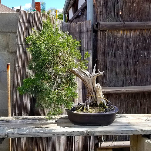 California Juniper - 'Juniperus californica'
