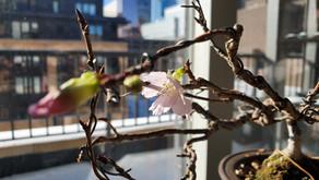 Wintering Bonsai Indoors Wait!What?