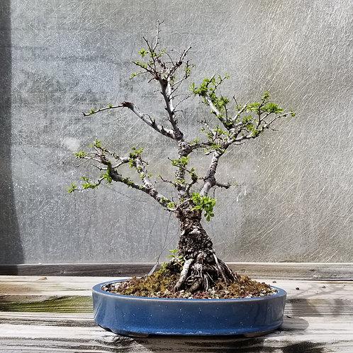 Elm - 'Ulmus parvifolia_Seiju'