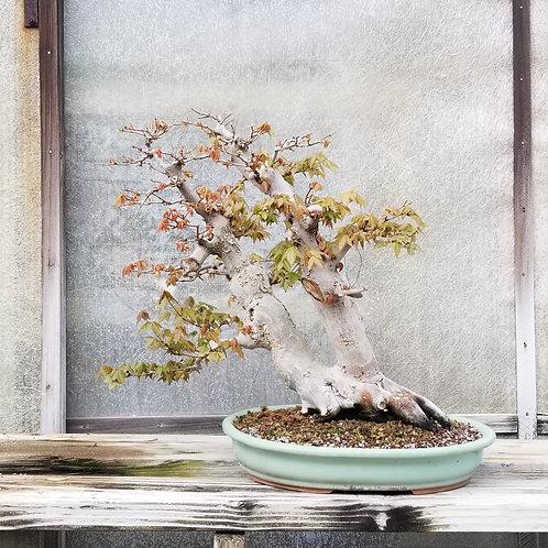 Trident Maple - 'Acer Palmatum'