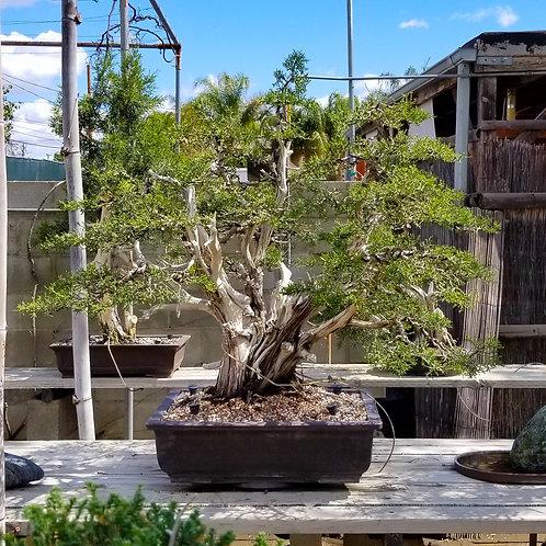 California Juniper - 'Juniperus californica'